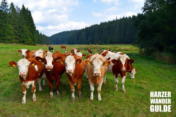 Kuhherde im Harz